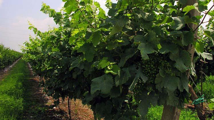 Prosecco: in arrivo un vitigno resistente alle malattie