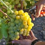 La Francia riscopre i suoi vitigni scomparsi