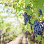 """""""Sapore di Vino"""": il dispositivo portatile che permette di analizzare le uve già nella vigna"""
