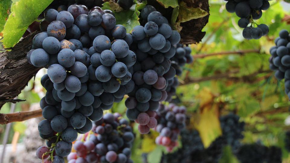 Clima primaverile anomalo: cosa succede nelle vigne?