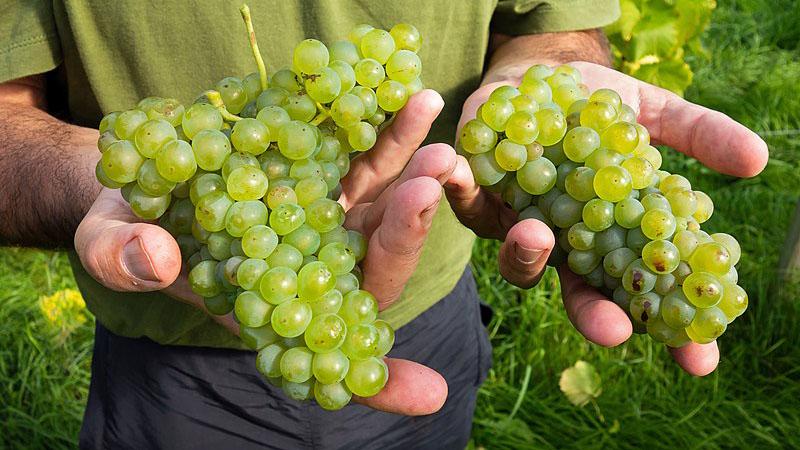 Vendemmia 2019: secondo Confagricoltura la qualità delle uve sarà ottima