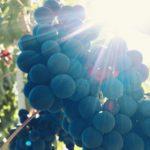 Vendemmia 2019, le quotazioni delle uve