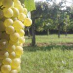 La scelta di Bernardi Ogliano: valorizzare il vitigno autoctono Verdiso, anche come vino in purezza
