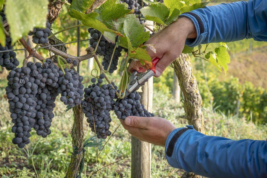 esiste vino senza solfiti