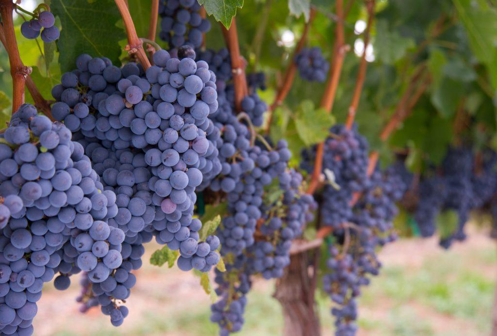 temperatura vino fermentazione elmiti